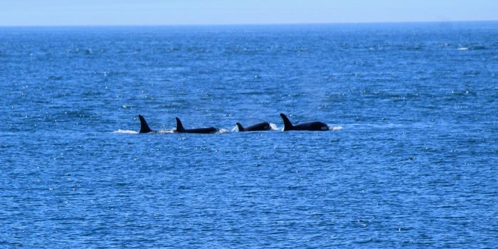 San Juan Islands Whale Watching: Clipper Vacations
